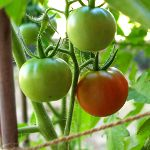 First tomatoes ripening